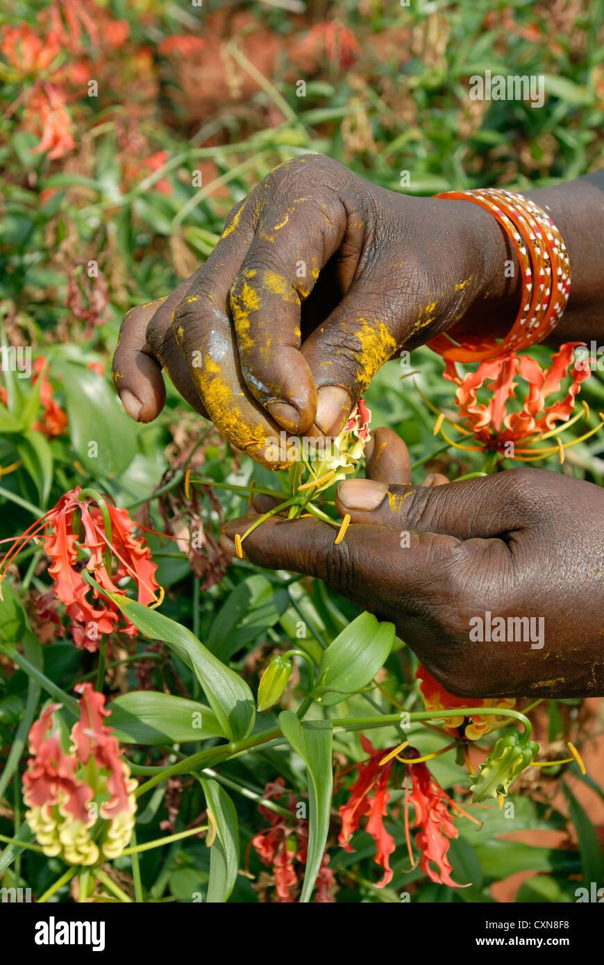 Gloriosa superba linn. (Medicinal plant) in Dharapuram,Tamil Nadu,India Stock Photo