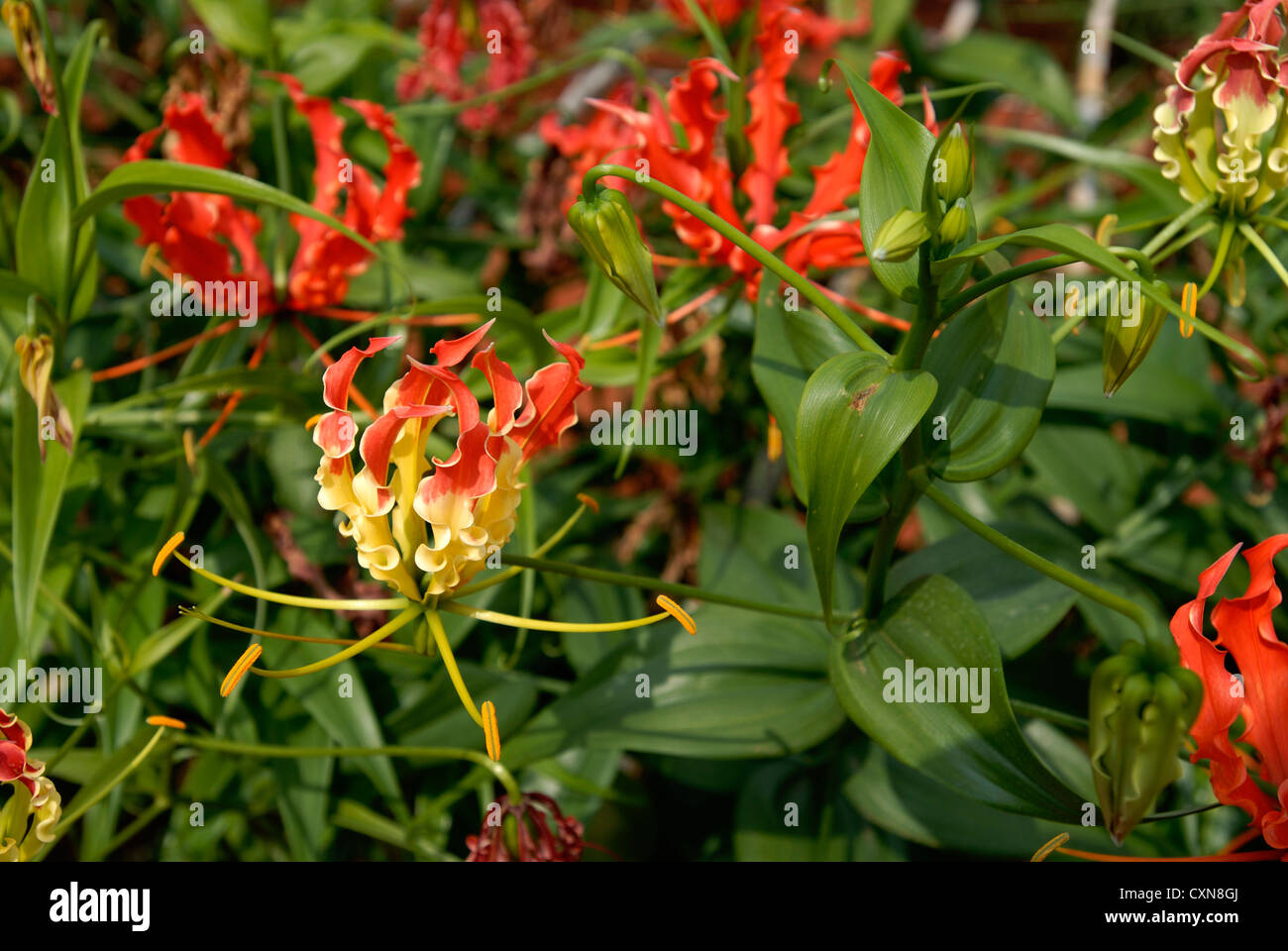 Superb lily stock photos superb lily stock images alamy medicinal plant in dharapuramtamil naduindia izmirmasajfo
