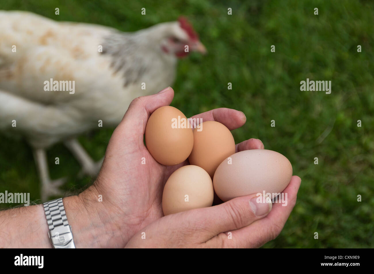 Keeping hens at home - UK. Collecting eggs including large double yolked egg. - Stock Image