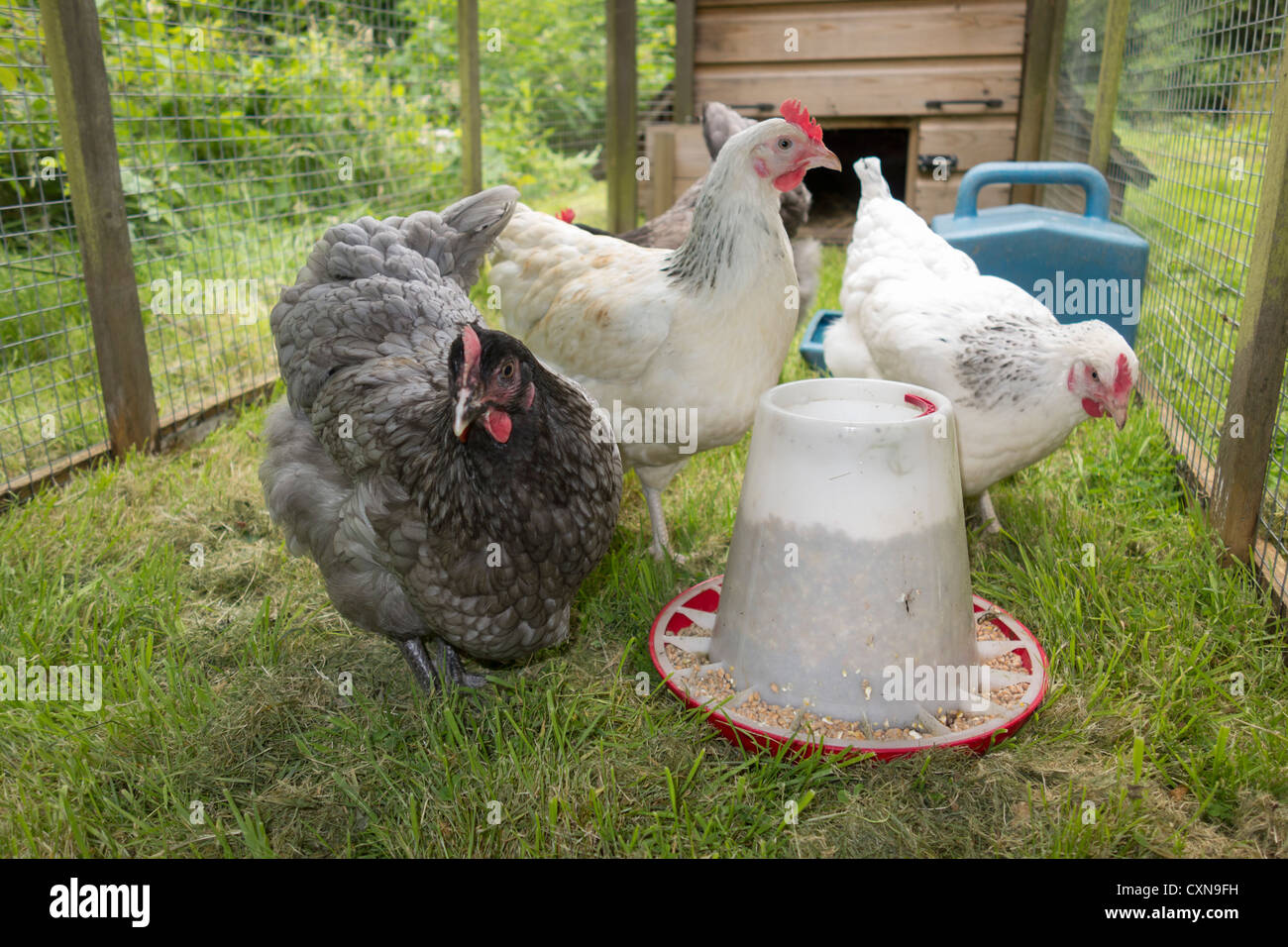 Keeping hens at home - UK. Hens in a run with feeder. - Stock Image