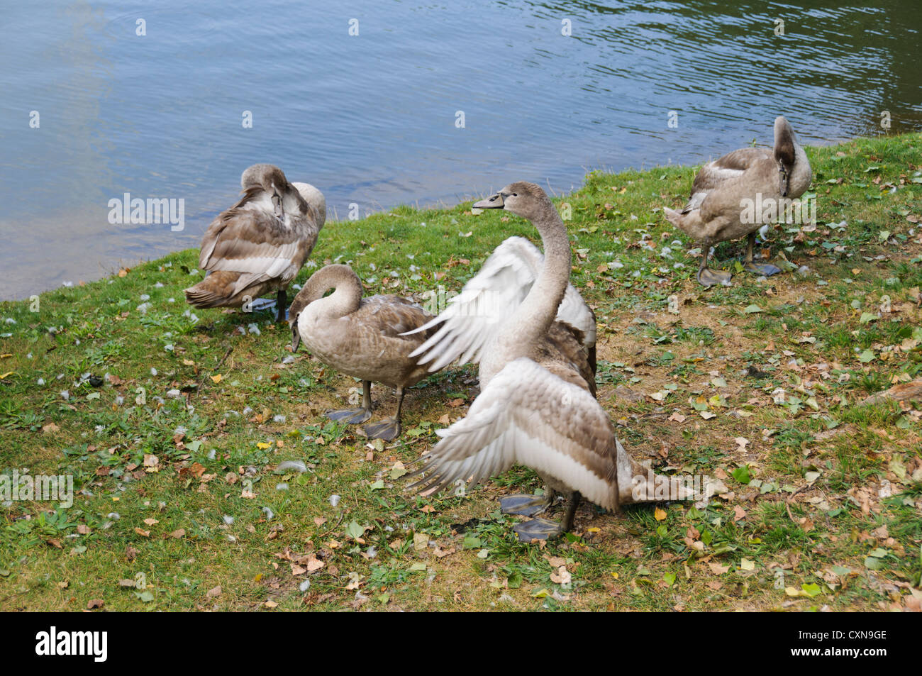 Four juvenile Mute Swans, Cygnus olor, Anatidae, flap with wings cleaning feather coat plumage at a river bank - Stock Image