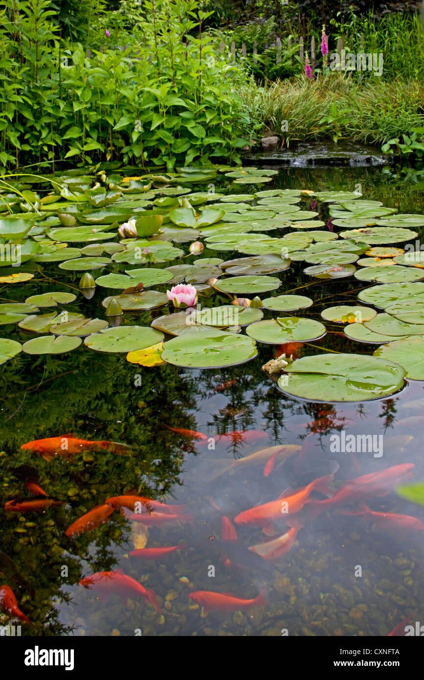 Goldfish (Carassius auratus auratus) swimming in garden pond with water lilies Stock Photo