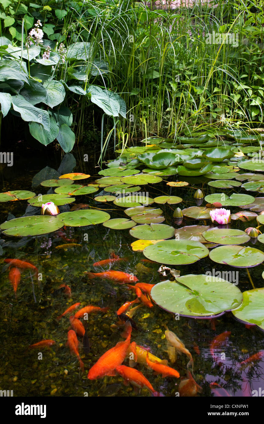 Goldfish (Carassius auratus auratus) swimming in garden pond with water lilies - Stock Image