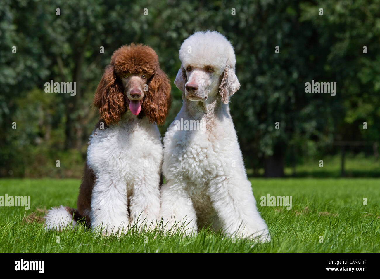 Harlequin and standard poodles (Canis lupus familiaris) in garden - Stock Image