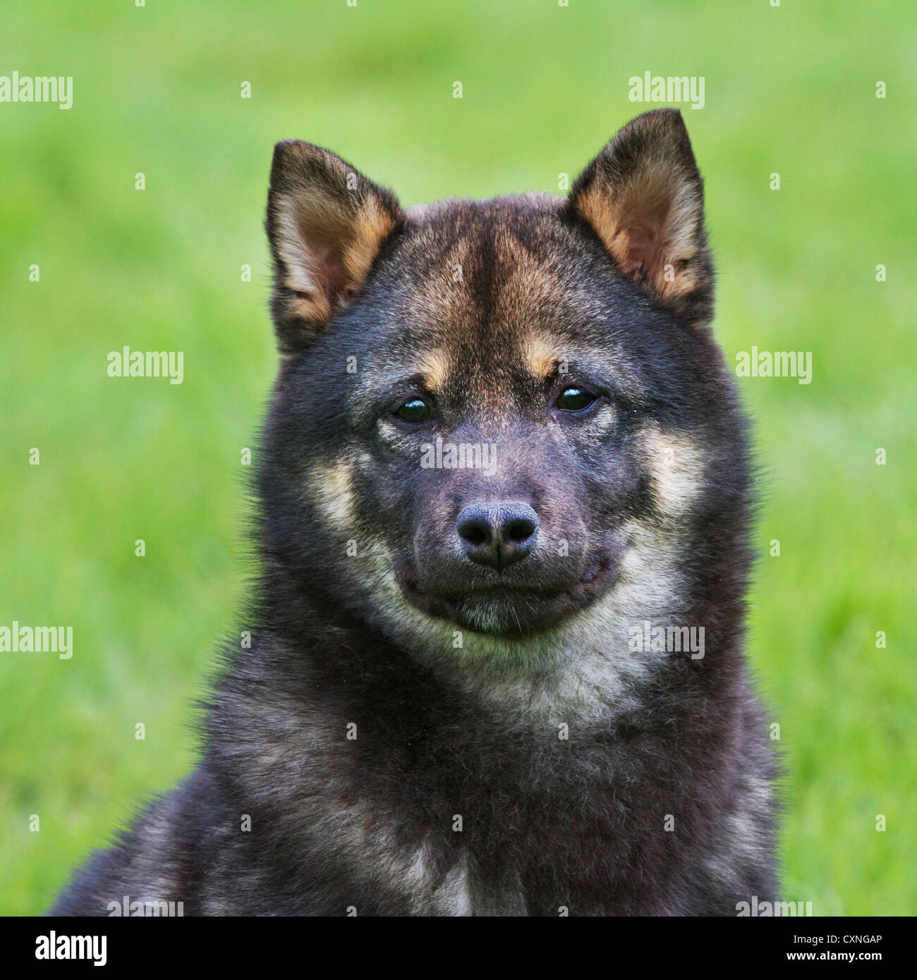 Shiba Inu / Shiba Ken (Canis lupus familiaris) Japanese dog breed in garden - Stock Image