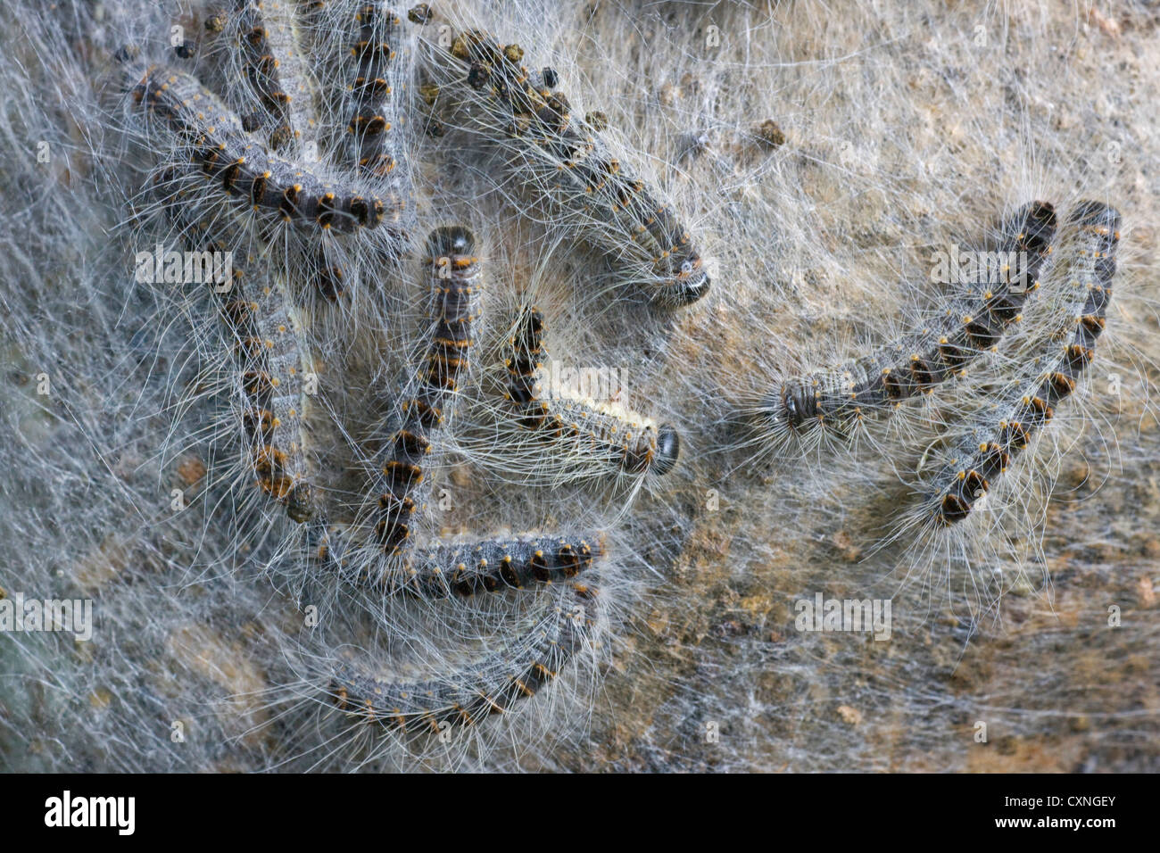 Nest of Oak Processionary caterpillars (Thaumetopoea processionea) on tree trunk - Stock Image