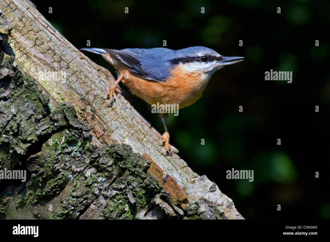 Eurasian nuthatch (Sitta europaea) foraging on tree trunk in forest - Stock Image