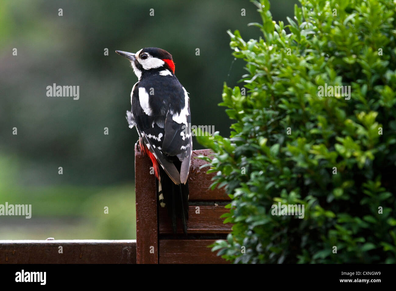 Great Spotted Woodpecker / Greater Spotted Woodpecker (Dendrocopos major) male perched on garden chair - Stock Image