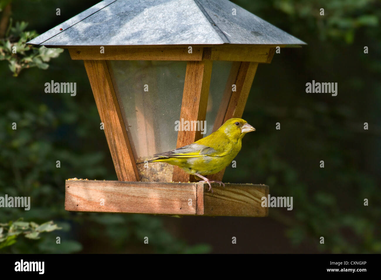 European Greenfinch (Carduelis chloris) feeding from bird feeder in garden, Belgium Stock Photo