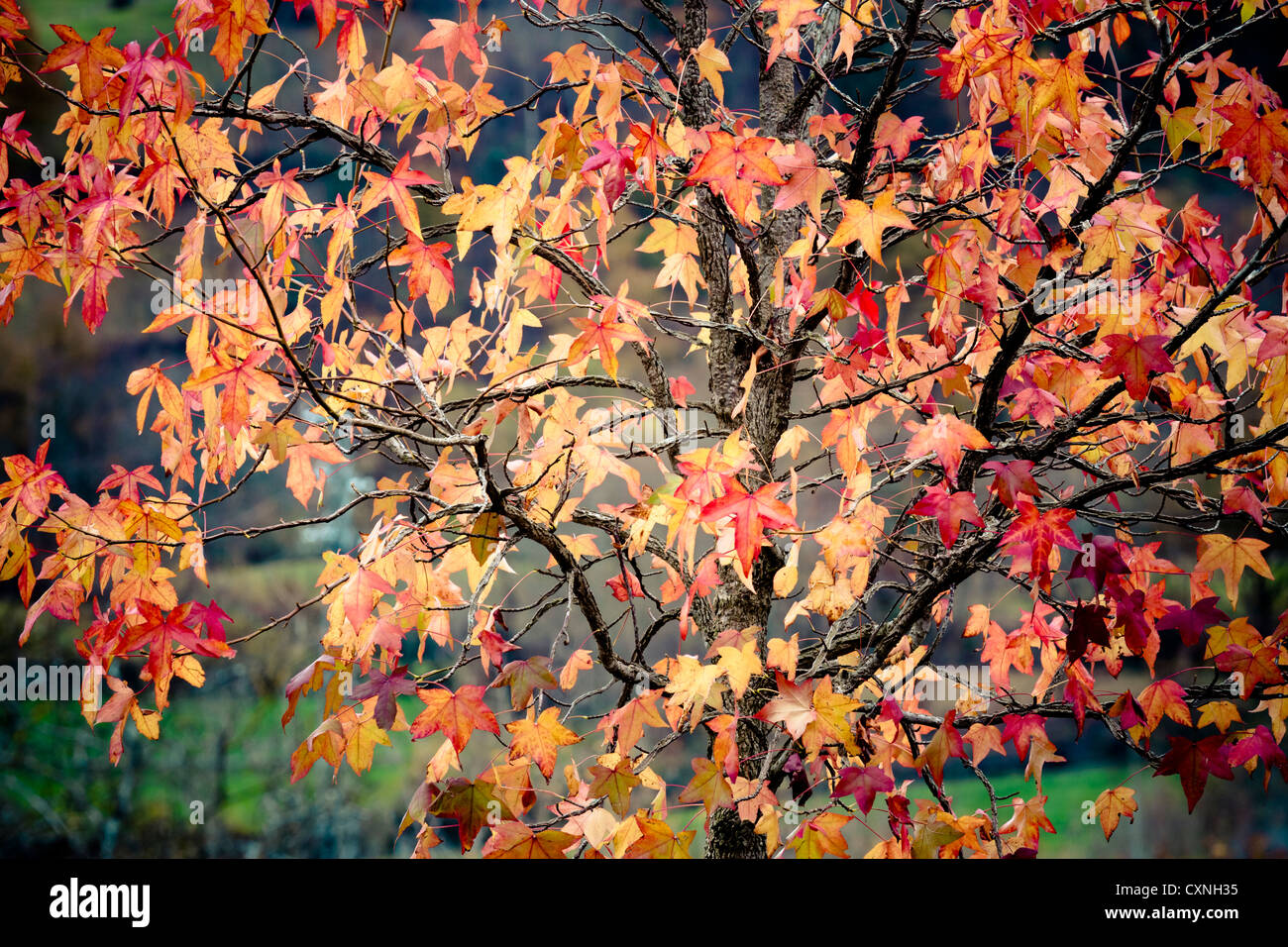 Liquidambar (Liquidambar styraciflua). Leaves in autumn. - Stock Image