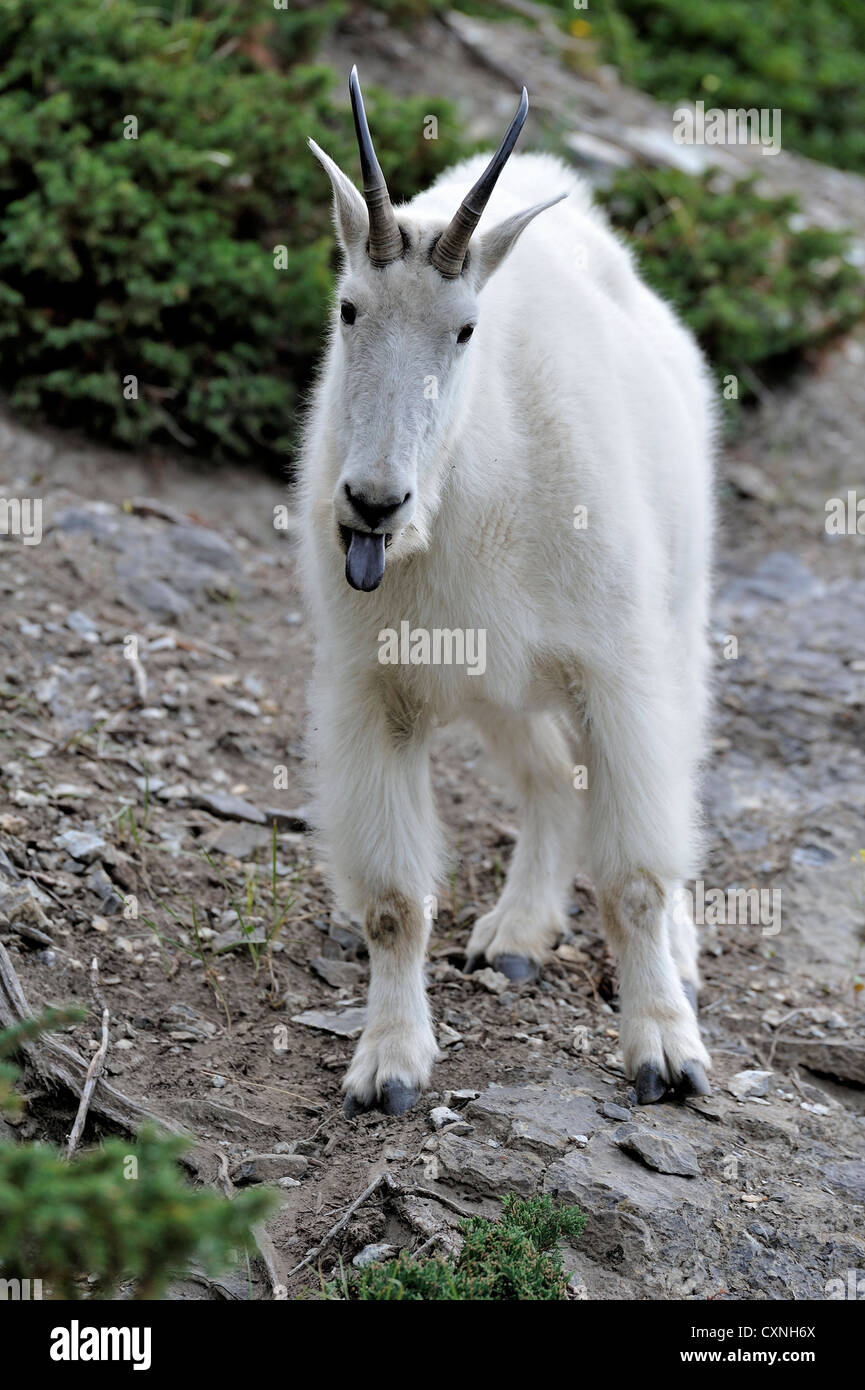 A white mountain goat standing with his tongue out - Stock Image