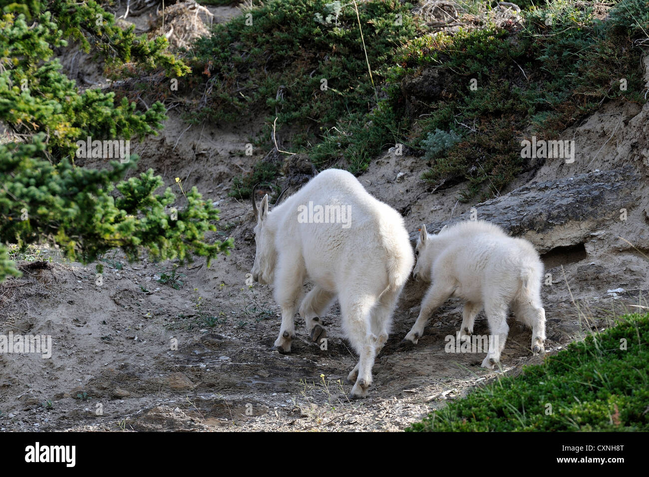 A mother mountain goat with her baby climbing a steep trail along a mountain side - Stock Image