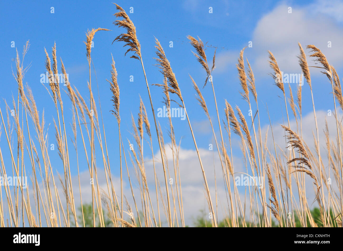 Dramatic low  angle of the Reed beds in  the   marshes of the Marais du Vigueirat ,Camargue - Stock Image