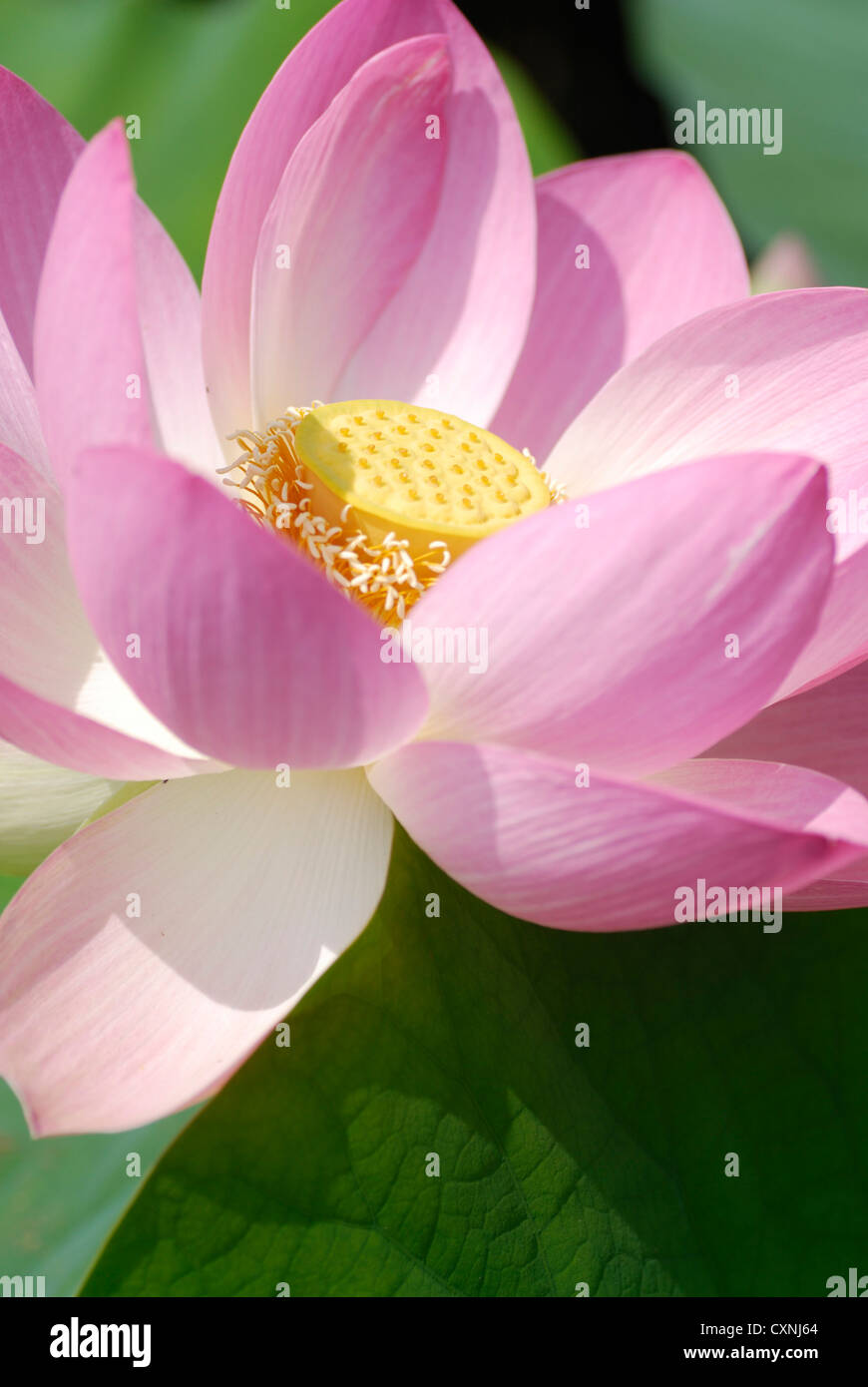 Pink Lotus Flower With Green Lotus Leaves In Background Nelumbo