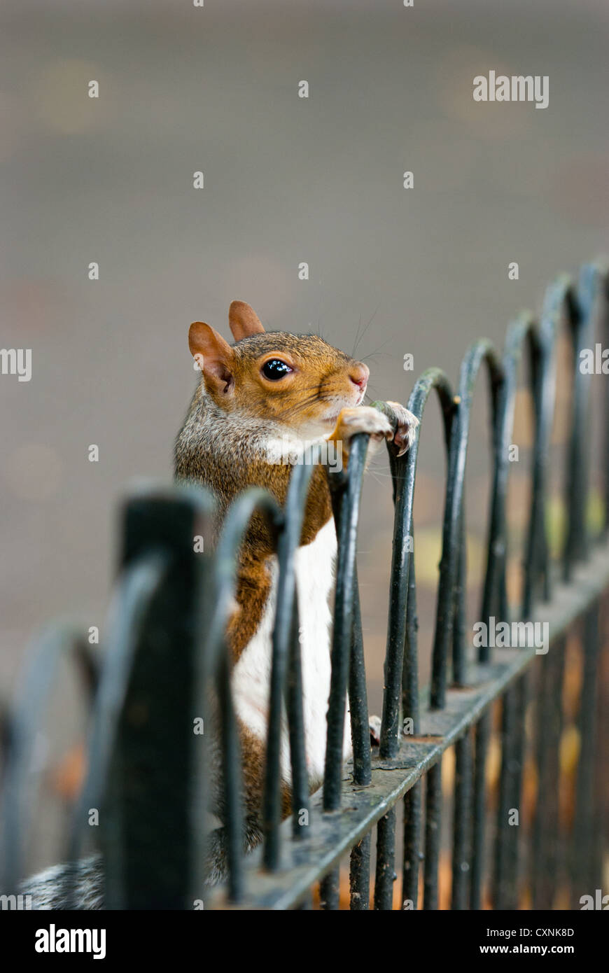 Grey Squirrel on fence - Stock Image