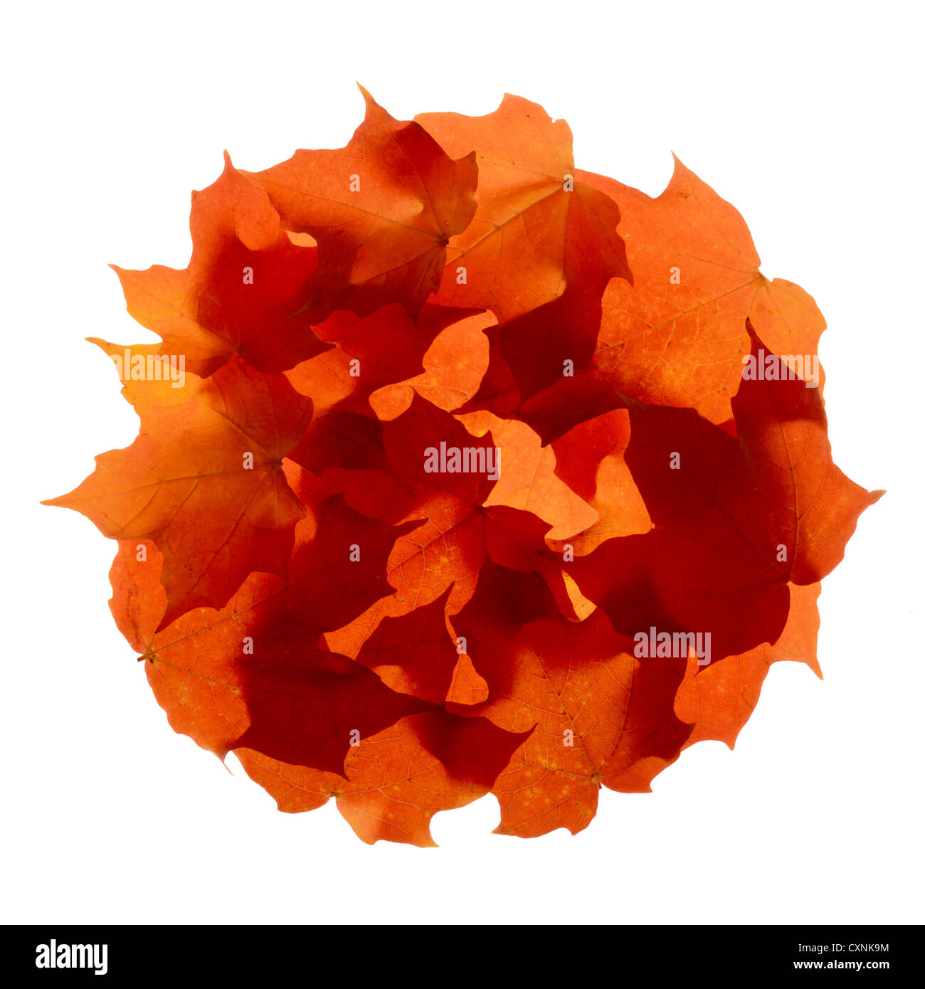autumn maple leaves in a circle - Stock Image