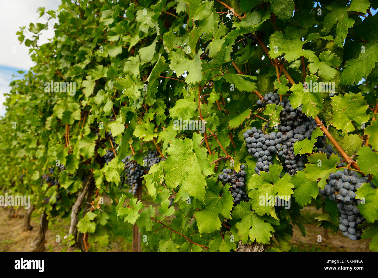 Ripe blue Merlot grapes on rows of vines in a vienyard before the Fall harvest Niagara Ontario Canada - Stock Image