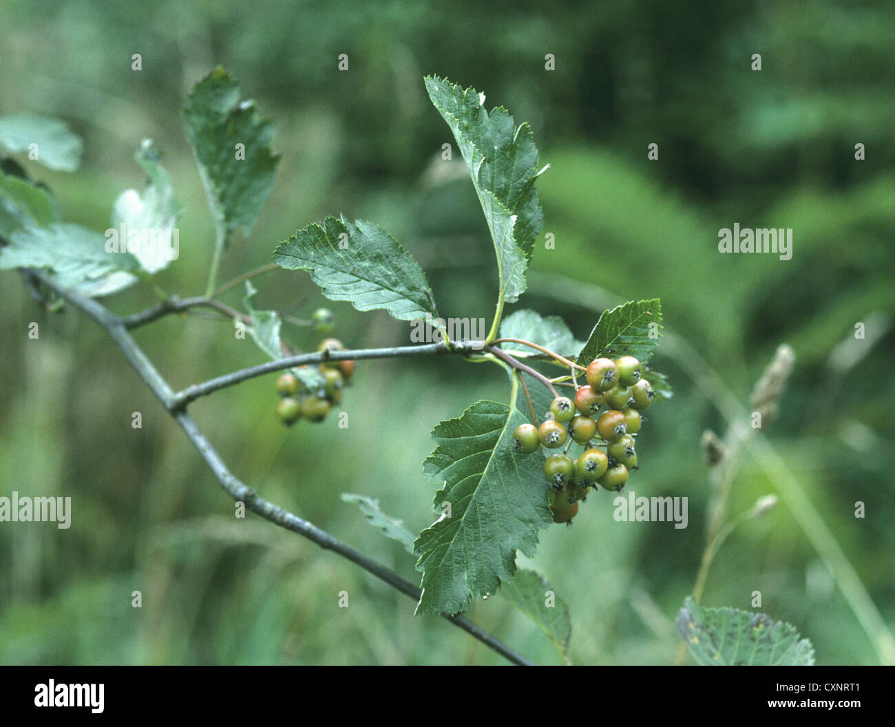 Sorbus anglica (Rosaceae) - Stock Image