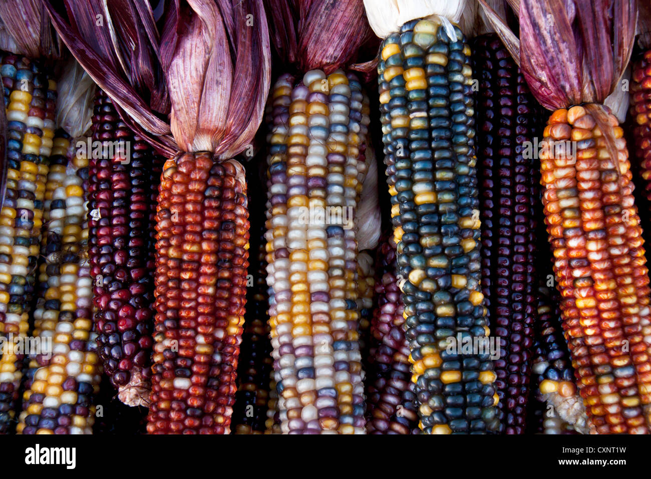 decorative corn cobs Stock Photo