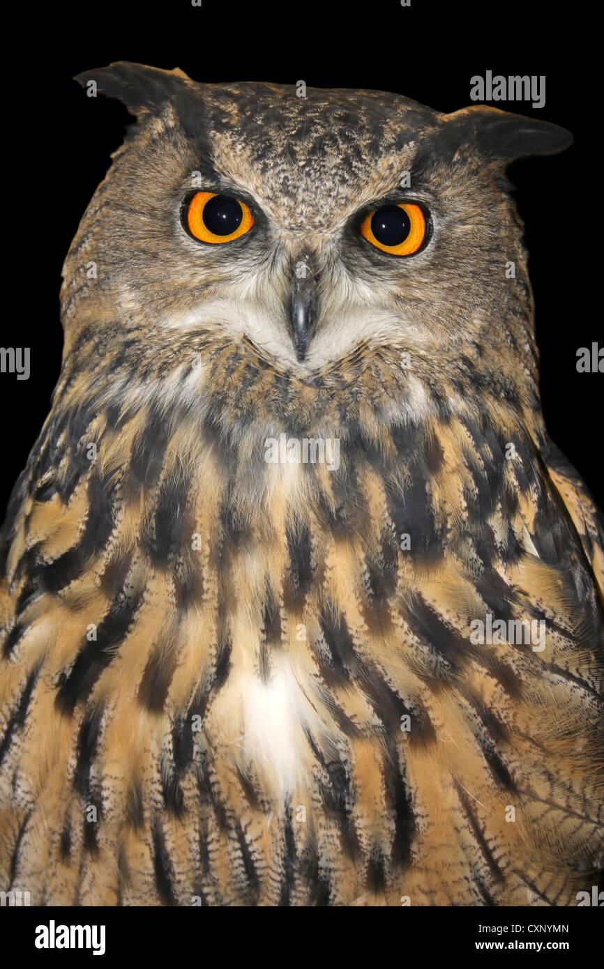 Captive European Eagle Owl Bubo bubo - Stock Image