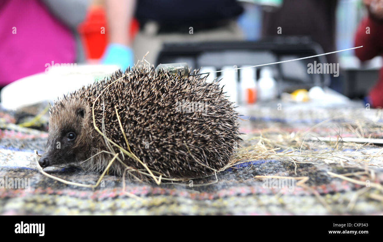 Brighton University and the RSPCA are joining forces to help track hedgehogs over the winter - Stock Image