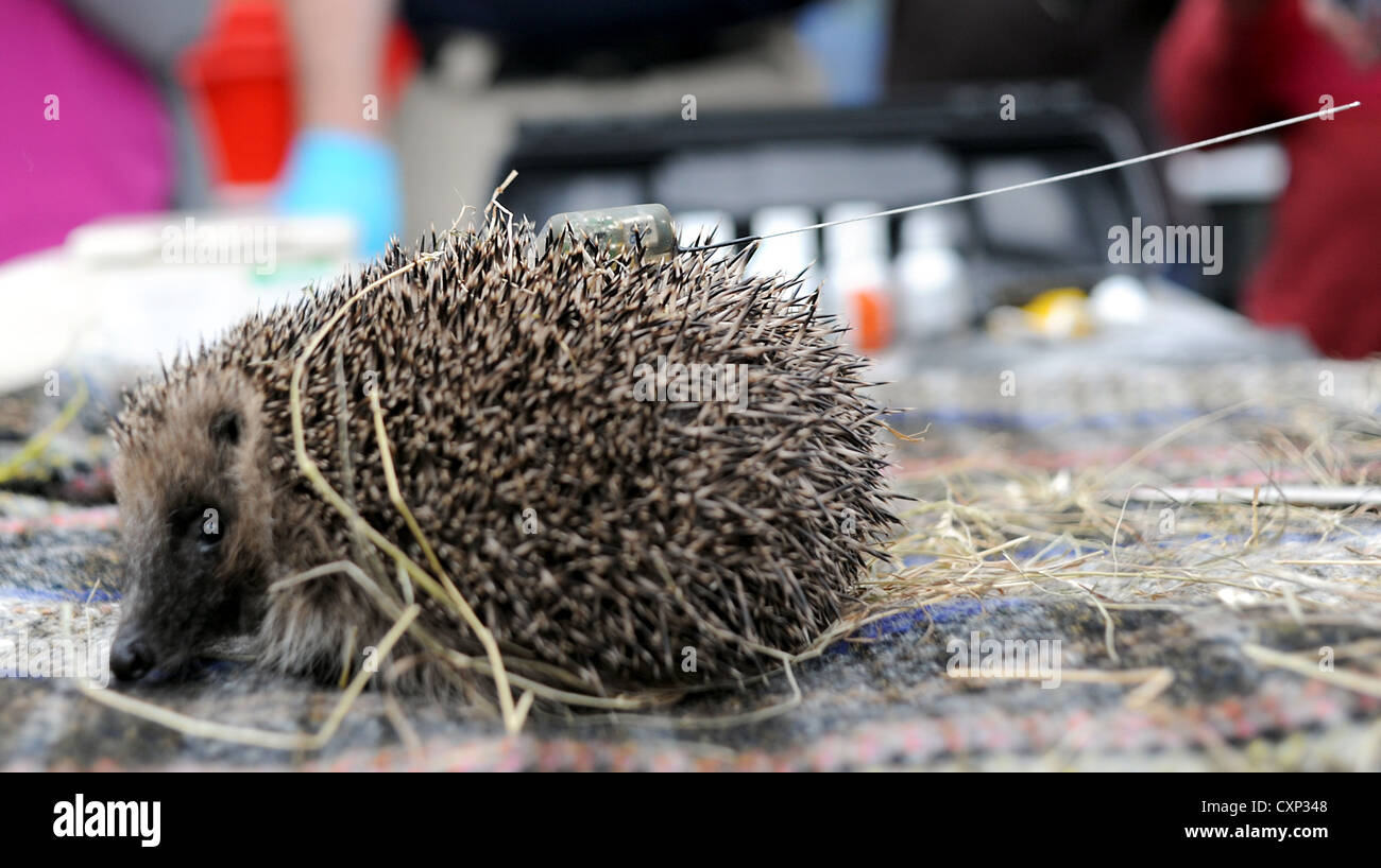 Brighton UK 9th October 2012 - Brighton University and the RSPCA are joining forces to help track hedgehogs over - Stock Image