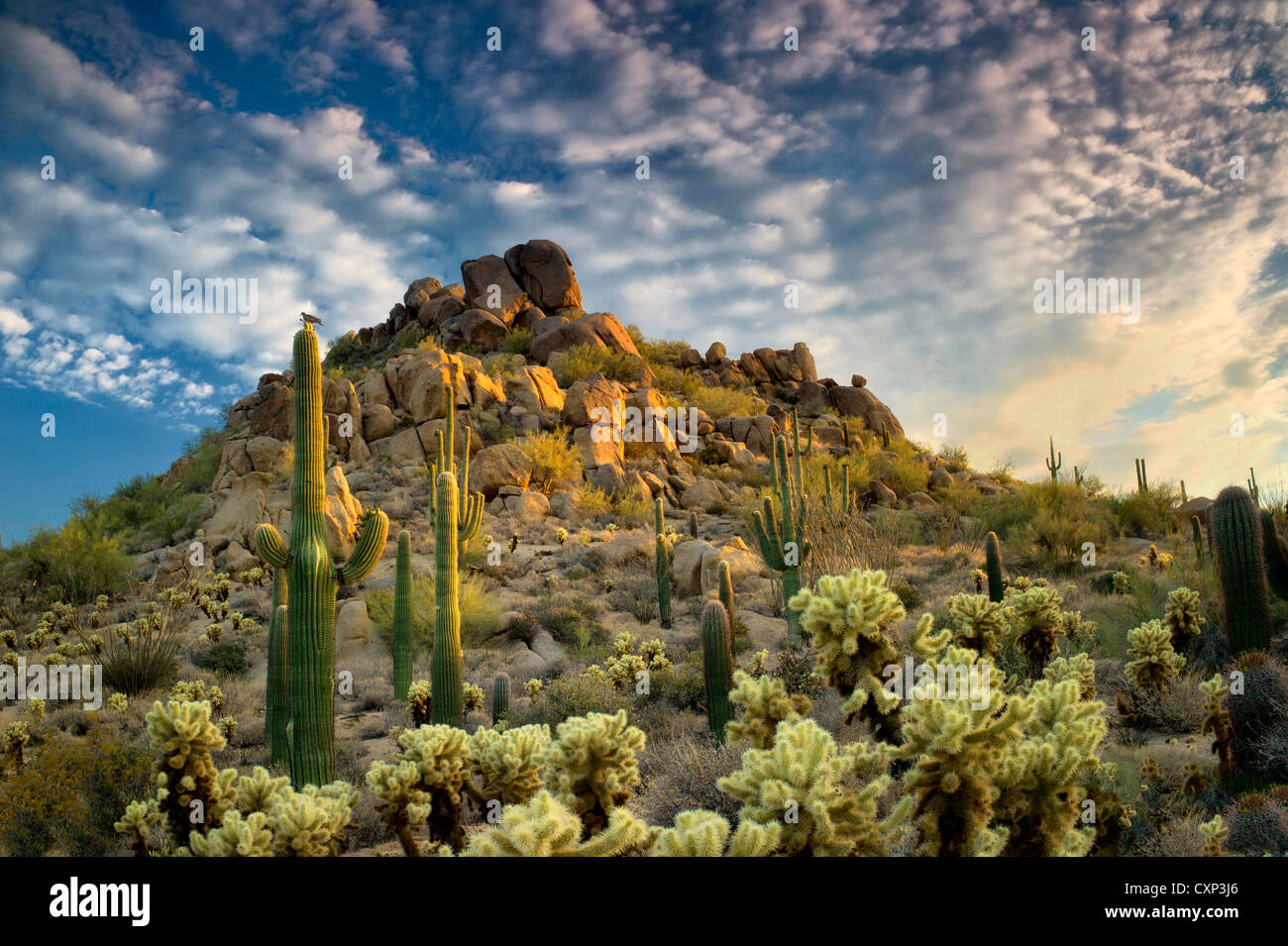 Saguaro and cholla cactus at sunset. Sonoran Desert, Arizona - Stock Image