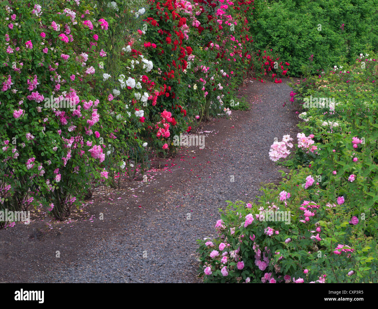 Path through roses. Heirloom Gardens. St. Paul, Oregon - Stock Image