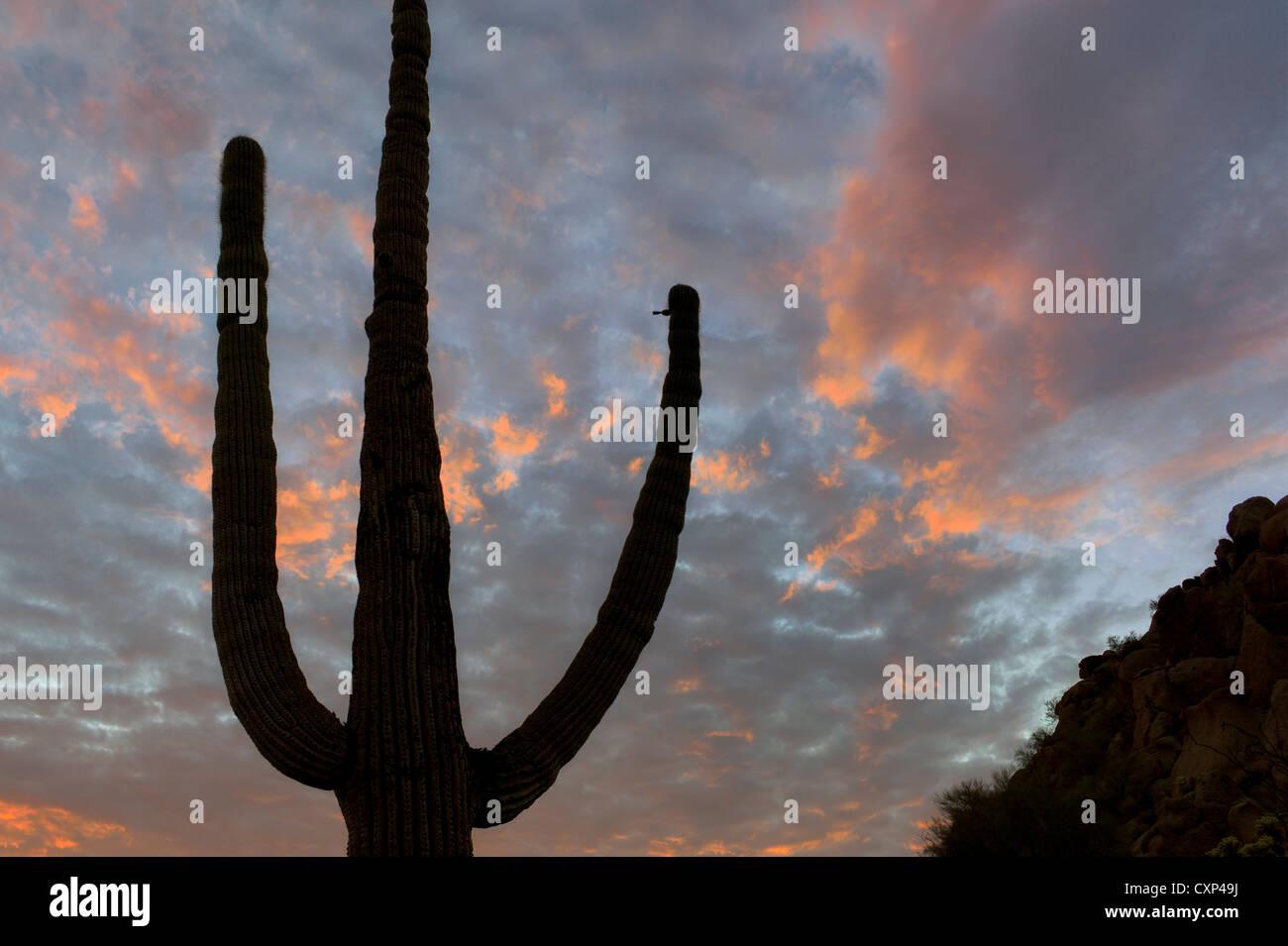 Saguaro cactus and sunset clouds. Sonoran Desert, Arizona - Stock Image