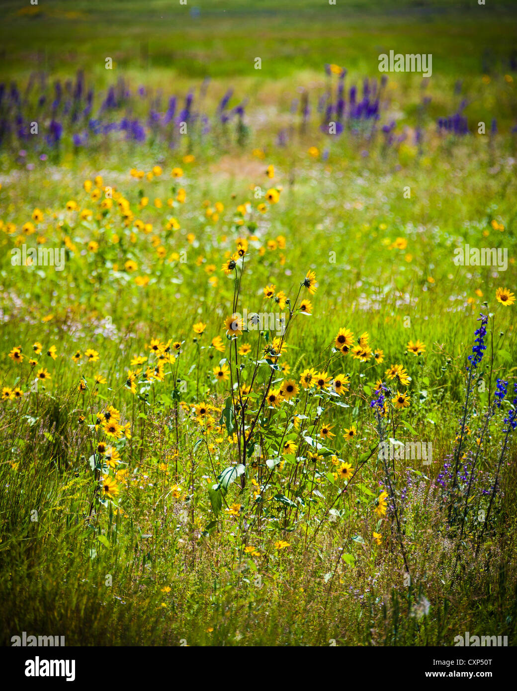 Wild Yellow And Purple Flowers Growing In A Meadow In An Arizona