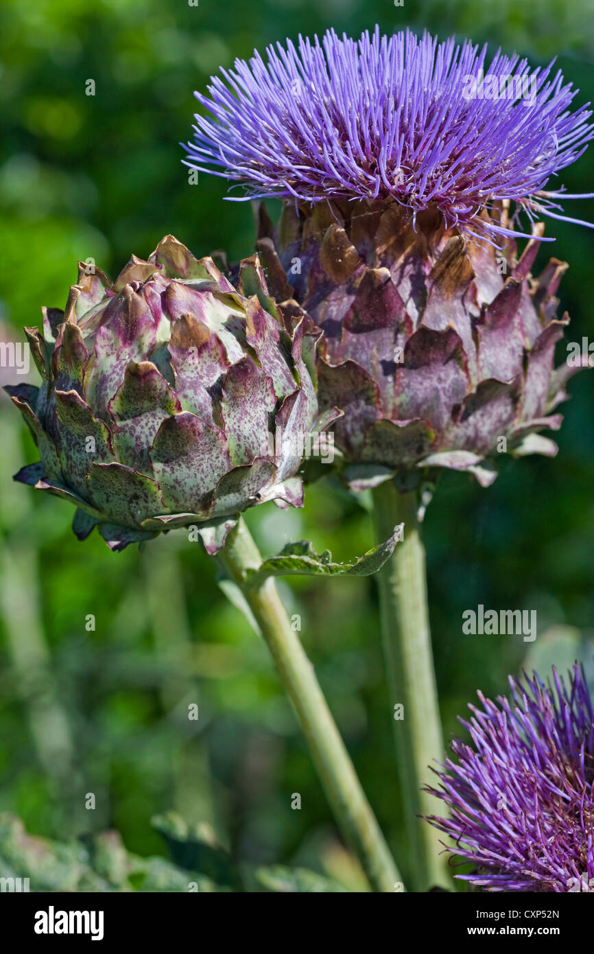 Cardoon / artichoke thistle (Cynara cardunculus) in flower, native to the Mediterranean - Stock Image