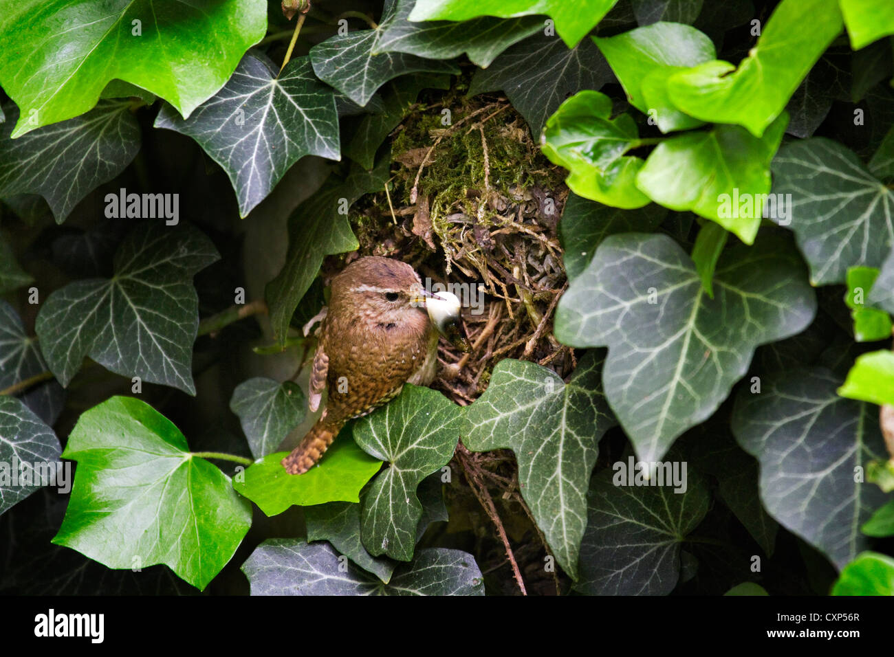 Eurasian wren (Troglodytes troglodytes) removes a fecal sac with feces of nestlings from nest hidden in ivy, Belgium - Stock Image