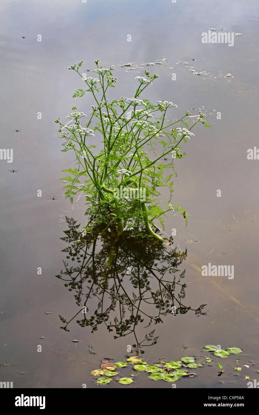 Fine-leaved water-dropwort (Oenanthe aquatica) flowering in pond, Belgium - Stock Image