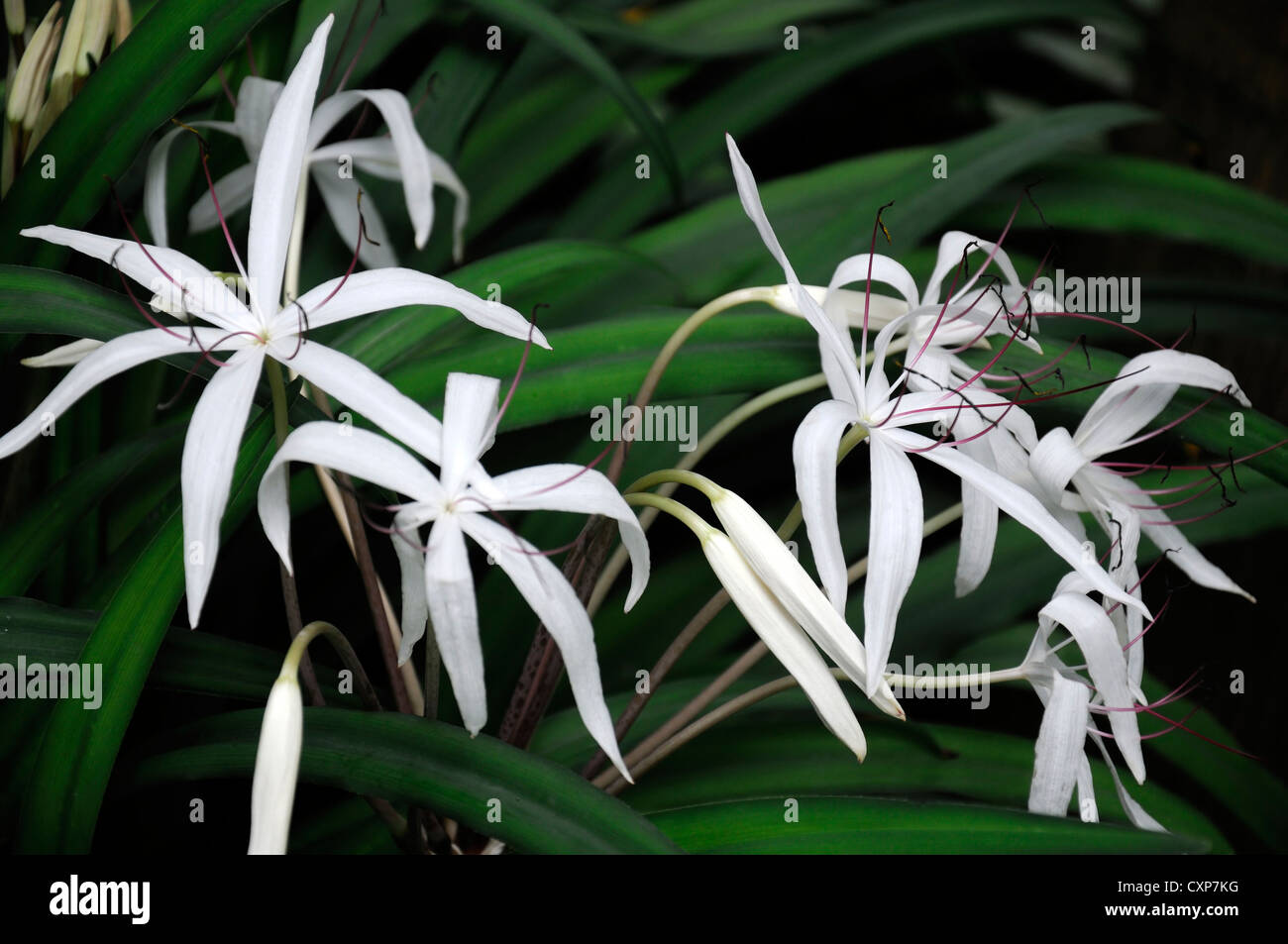 Starry crinum purpurascens white flowers flower amaryllidaceae stock starry crinum purpurascens white flowers flower amaryllidaceae tropical plant swamp lily mightylinksfo