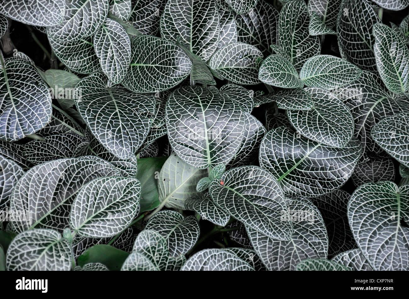 fittonia albivenis spring closeup selective plant portraits nerve plant mosaic leaves foliage patterned patterns - Stock Image
