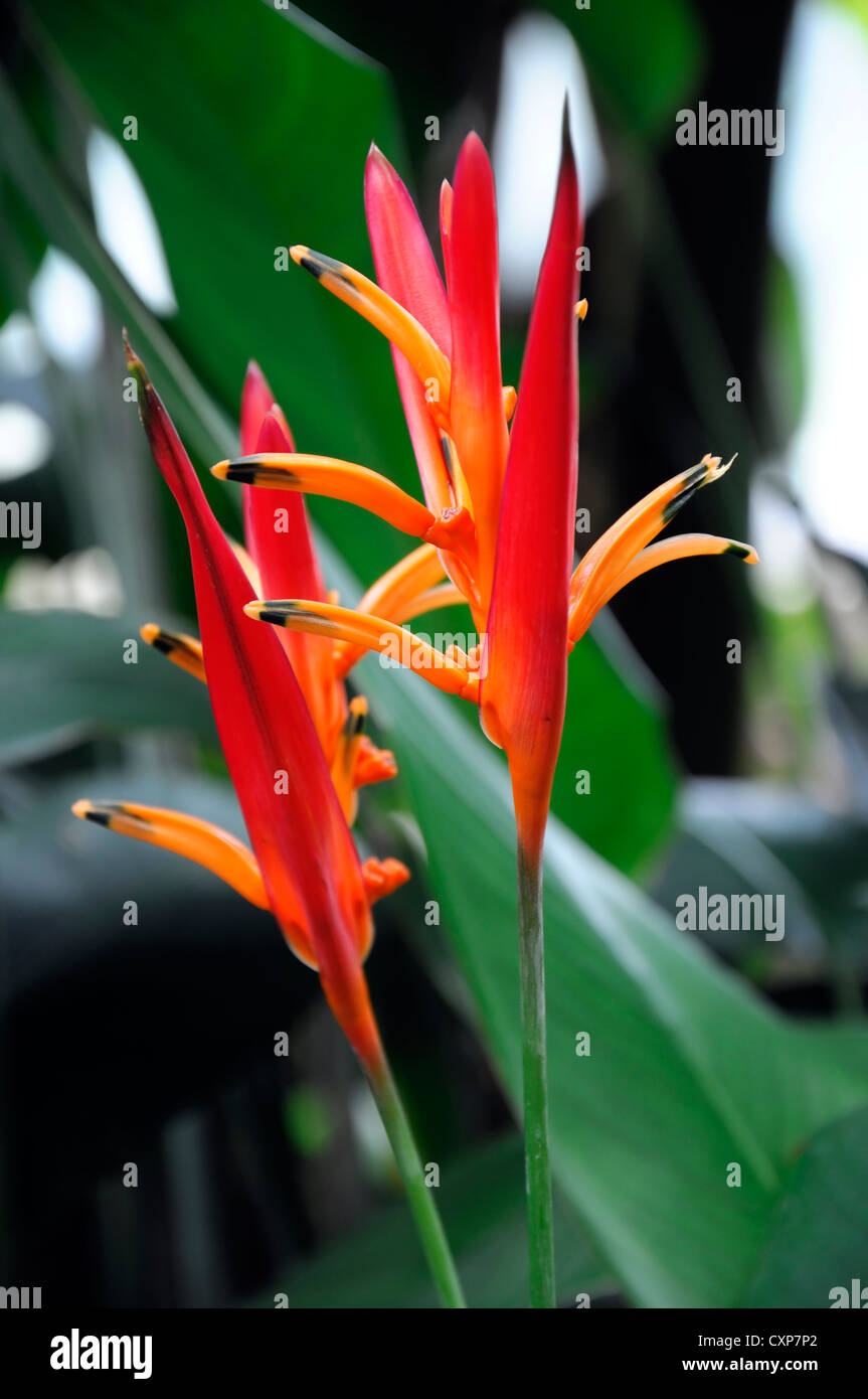 heliconia psittacorum x spathocircinata guyana heliconia flower bright orange yellow flowers  plant portraits summer - Stock Image