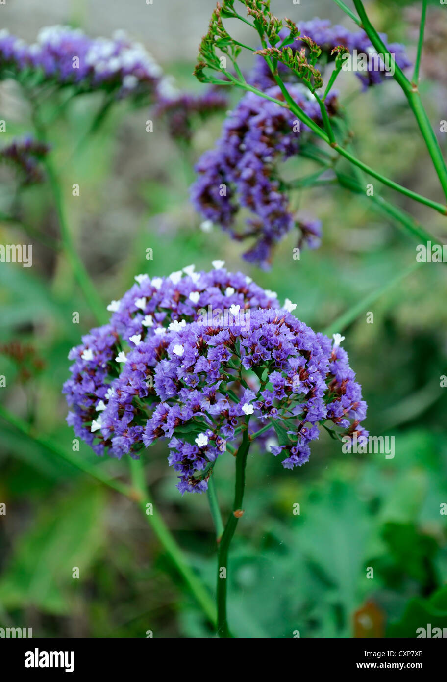limonium arborescens blue sea lavender tree limonium tree statice blue flowers flowering bloom blossom siempreviva - Stock Image
