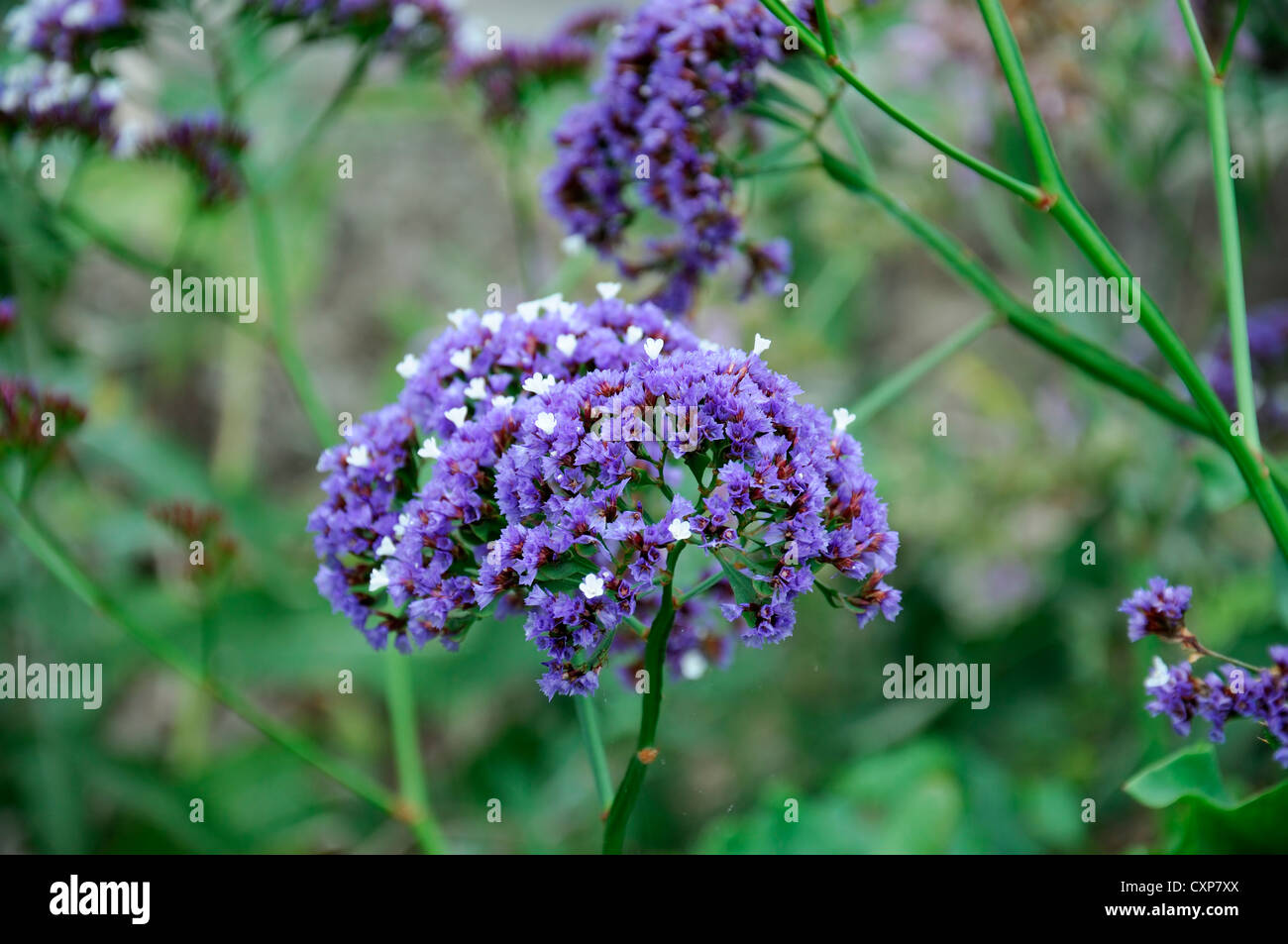 limonium arborescens blue sea lavender tree limonium tree statice blue flowers flowering bloom blossom - Stock Image