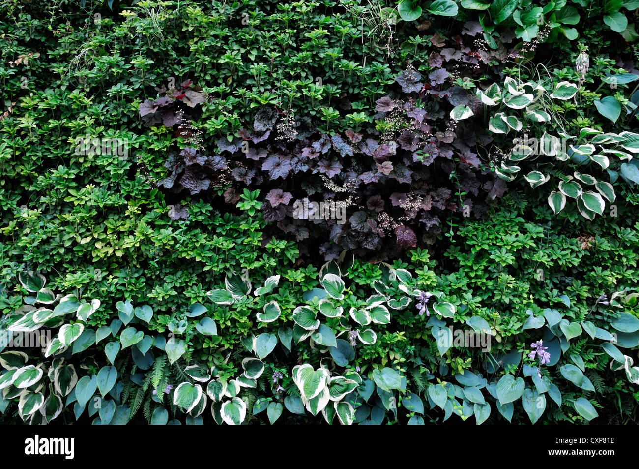 pachysandra terminalis heuchera hosta living green wall. Black Bedroom Furniture Sets. Home Design Ideas