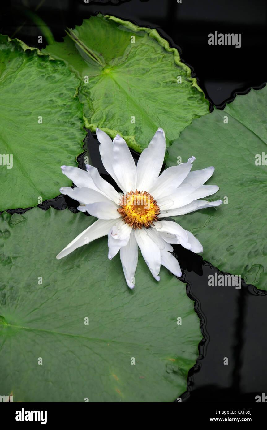 nymphaea kews kabuki white flower tropical waterlily plant flowering waterlilys waterlilies lily lilies aquatic - Stock Image