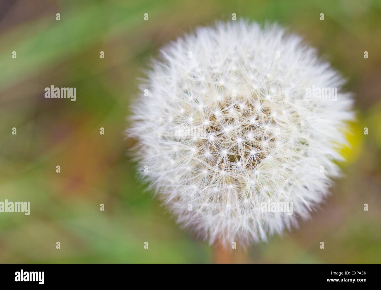 dandelion outdoors with textspace - Stock Image