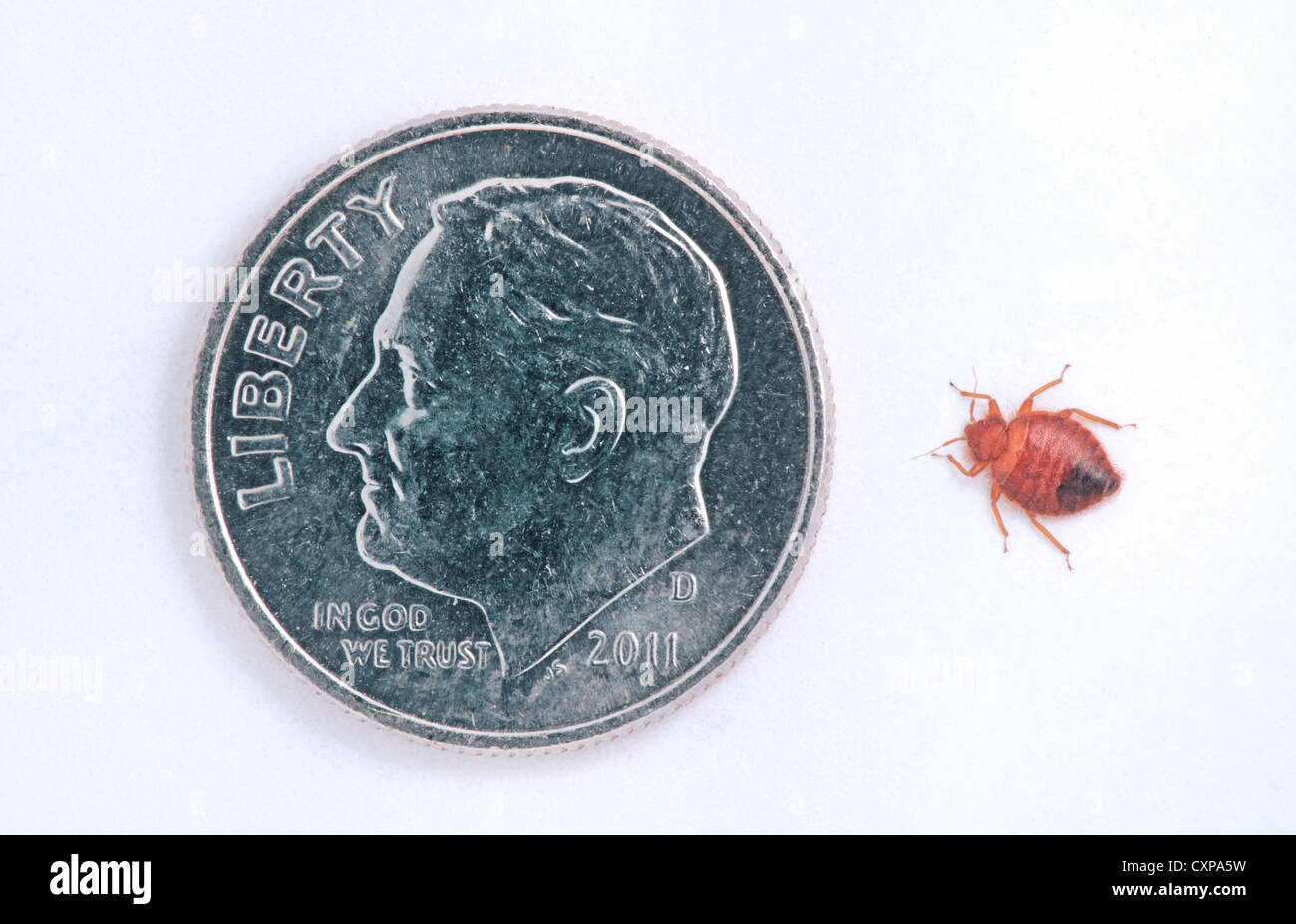 common adult bed bug bedbug cimex lectularius compared to a us roosevelt dime10 cent coin showing relational size of insect bed bug sizes b81 bug