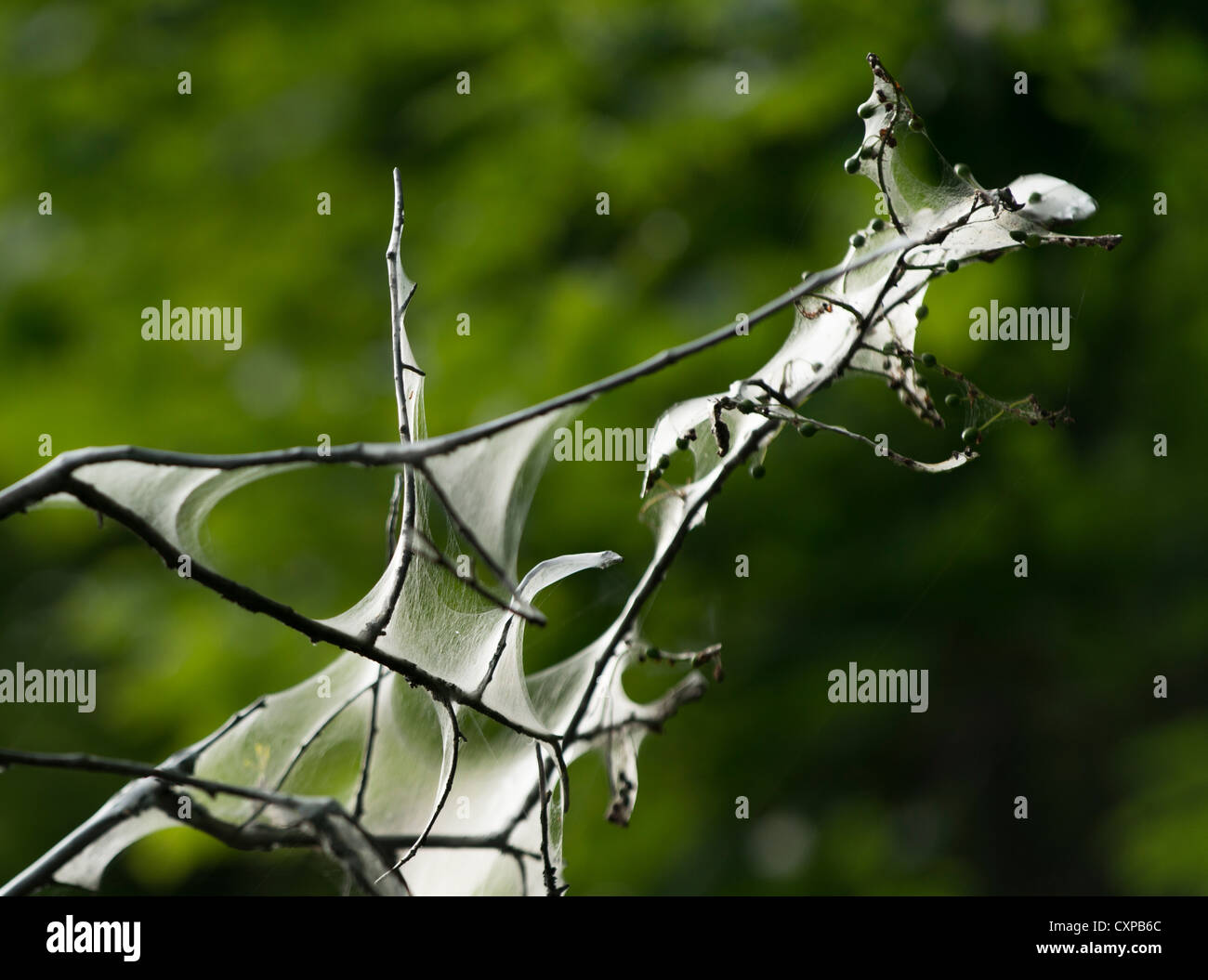 Webs of the tent caterpillar in the branches of a tree - Stock Image