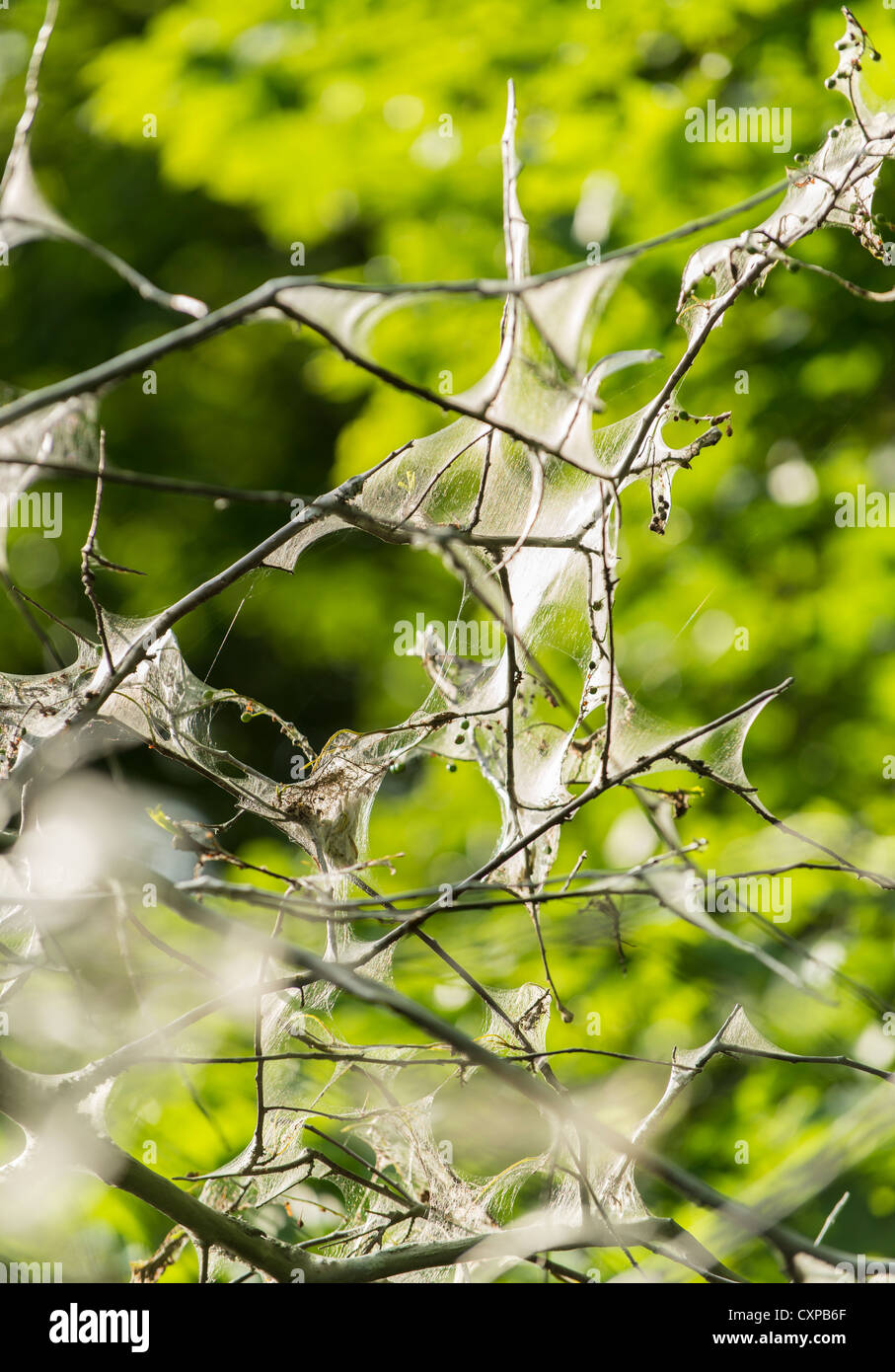 Webs of the tent caterpillar in the branches of a tree Stock Photo
