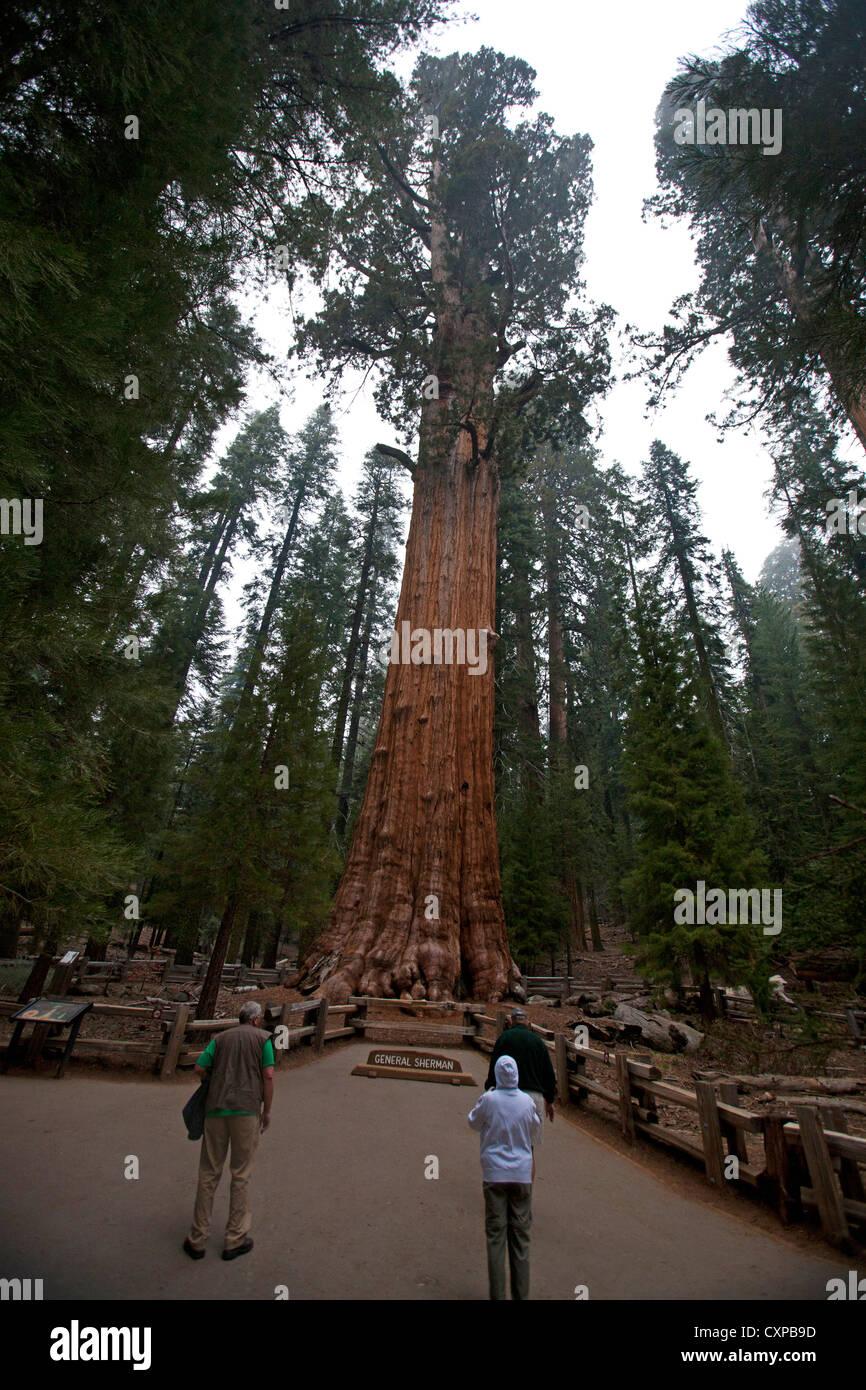 Tourists look General Sherman Giant Sequoia tree (Sequoiadendron giganteum) Sequoia National Park California United - Stock Image