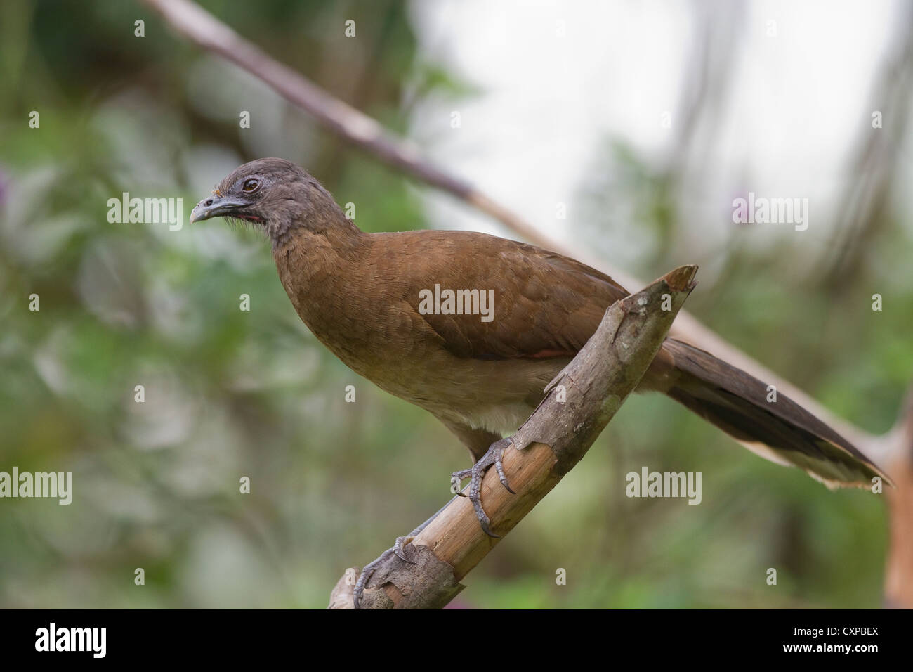 Gray-headed Chachalaca (Ortalis cinereiceps) on grounds of Rancho Naturalista near Turrialba, Costa Rica. - Stock Image