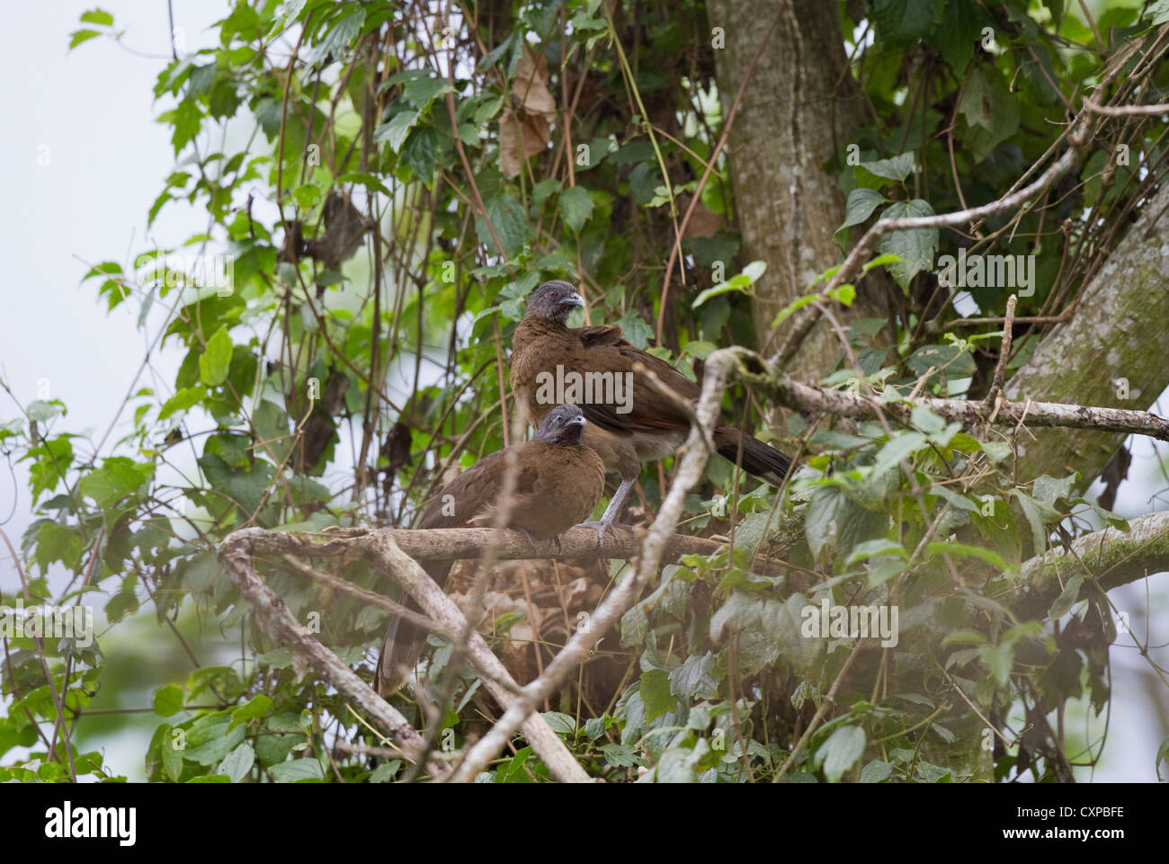 Gray-headed Chachalaca (Ortalis cinereiceps) in tree at Rancho Naturalista near Turrialba, Costa Rica, Central America. - Stock Image