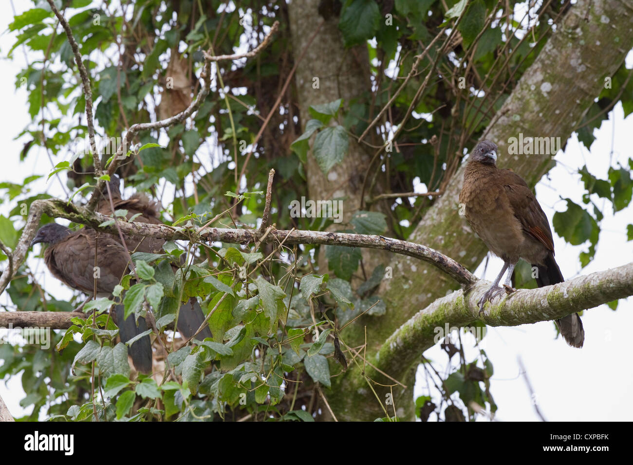 Gray-headed Chachalaca (Ortalis cinereiceps) in tree at Rancho Naturalista near Turrialba, Costa Rica. - Stock Image