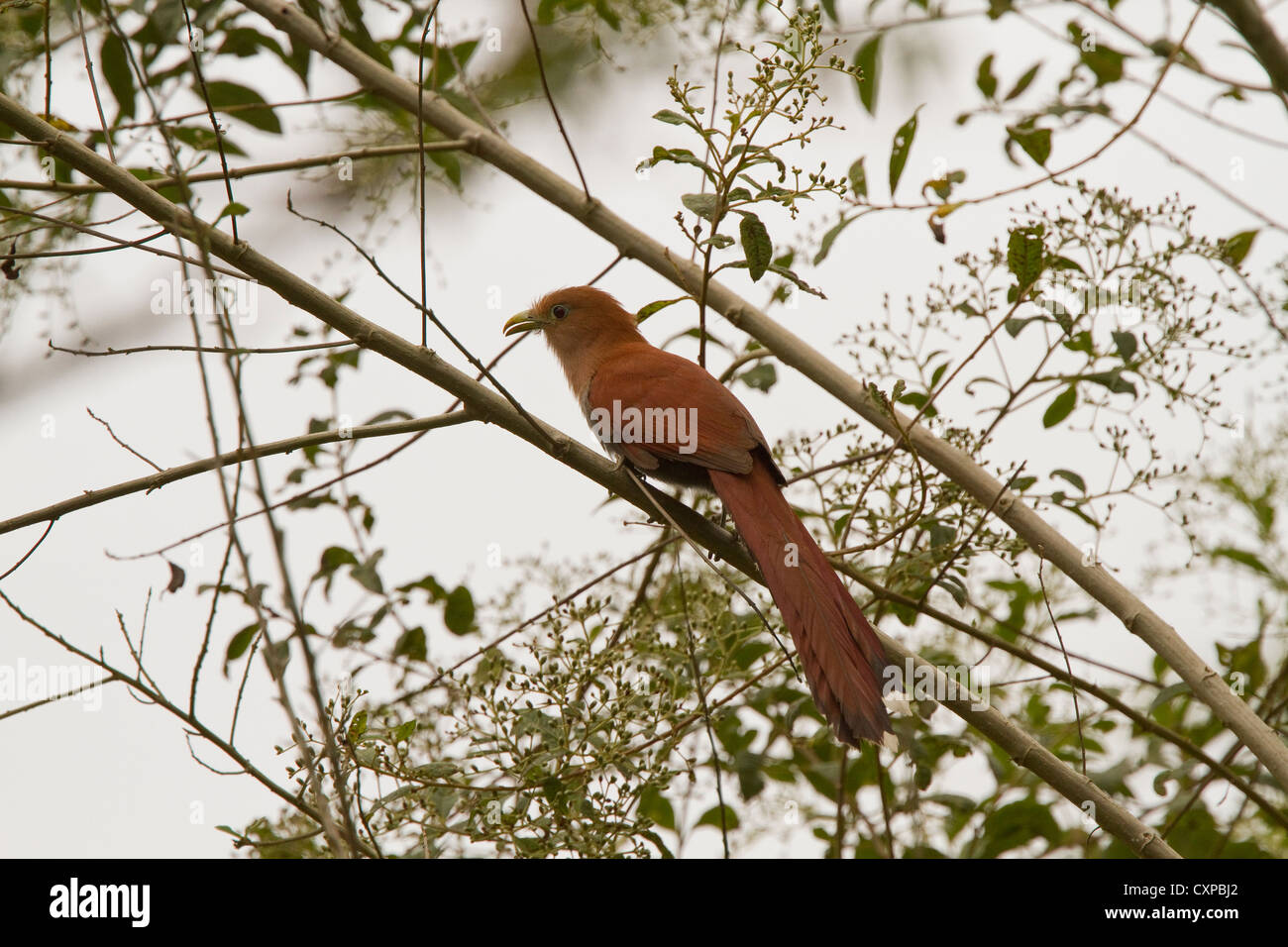 Squirrel Cuckoo (Piaya cayana) perched on branch, Caribbean foothills, Costa Rica, Central America. - Stock Image