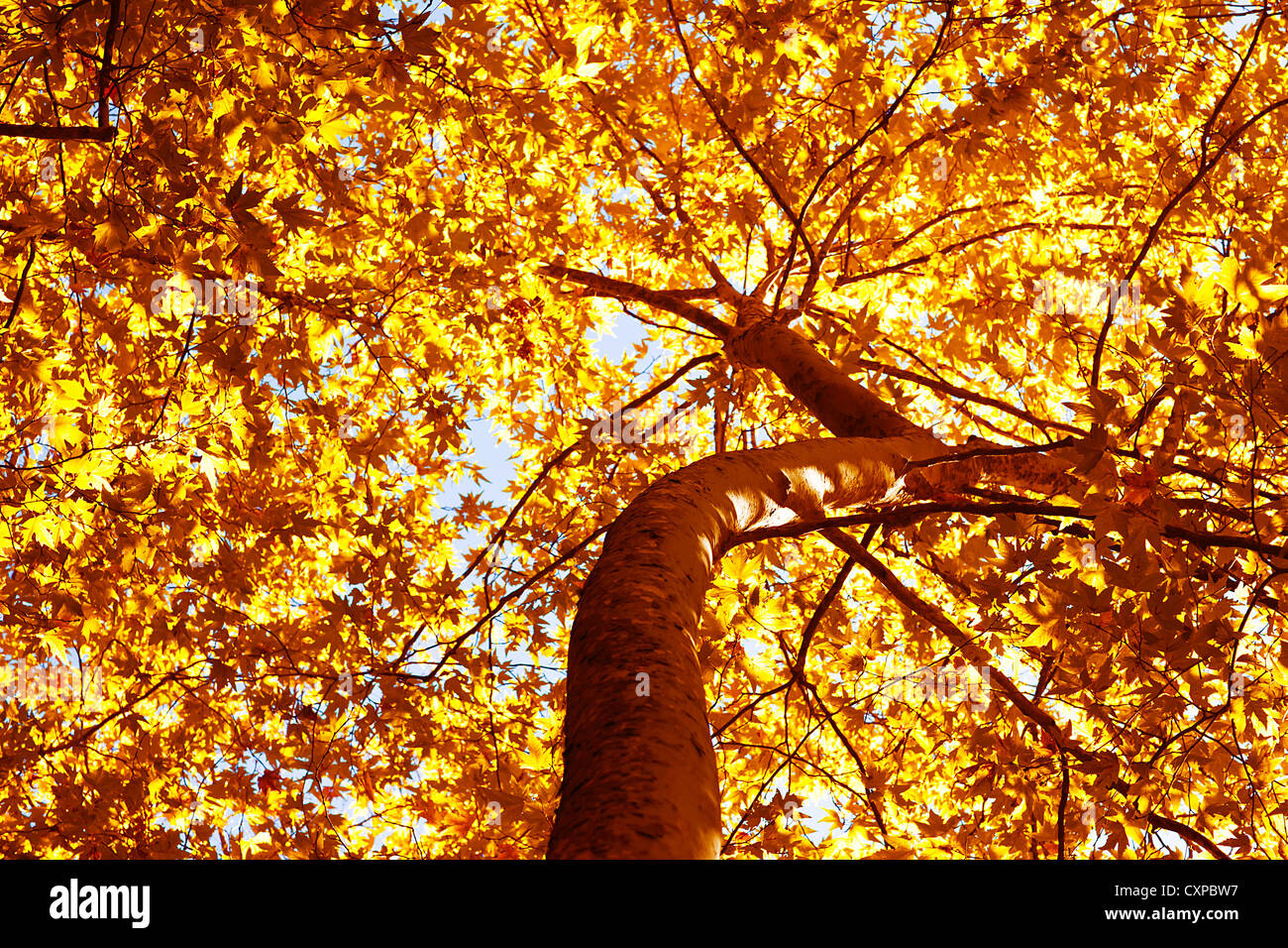 Picture of beautiful autumn tree, dry yellow foliage on old tree trunk, abstract golden leaves background, huge - Stock Image